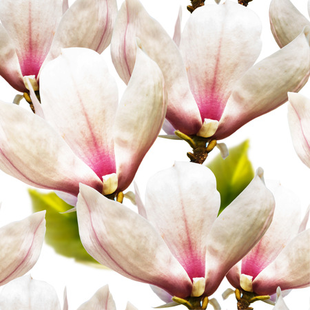 Pink magnolia spring fragility flowers on white background seamless pattern
