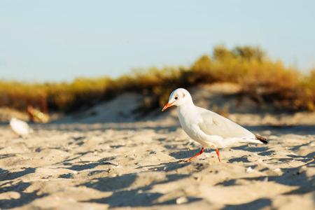red beak: Beach sea seagull white bird with red beak in the sand sun background