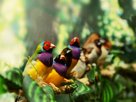 finch: Gouldian finch exotic bird family siiting on a green branch background