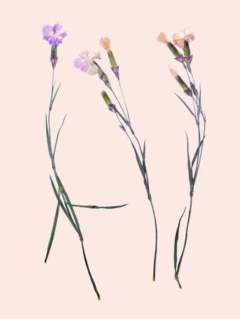 Beautiful summer flower arnation herbarium on white background