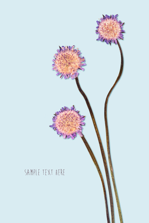 Pressed and dried flowers isolated on blue background. For use in scrapbooking floristry or herbarium.