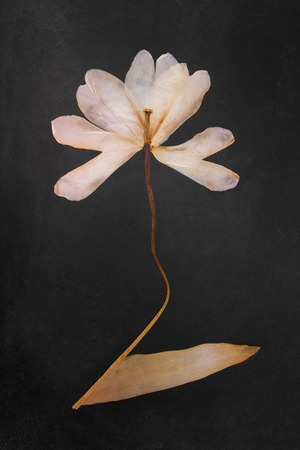 Pressed and dried tulip flowers on black board background. For use in scrapbooking