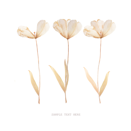 Pressed and dried tulips flower on a white background. For use in scrapbooking Stock Photo