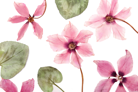 The flowers pink cyclamen dried pressed herbarium