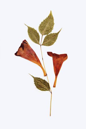 Pressed and dried summer flower on a white background