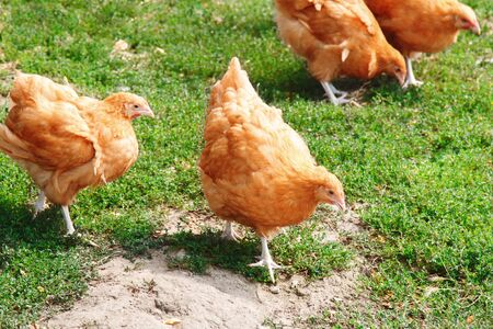 Domestic Chickens walking Eating Grains and Grass
