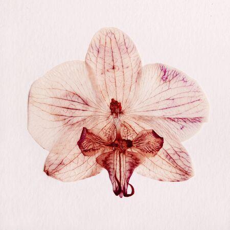 pink orchid dry delicate flowers and petals, pressed on white paper texture background