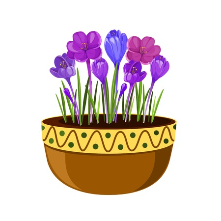 Crocuses in a pot illustration. Early spring flowers isolated on white background. Spring seasonal vector illustration. Illustration