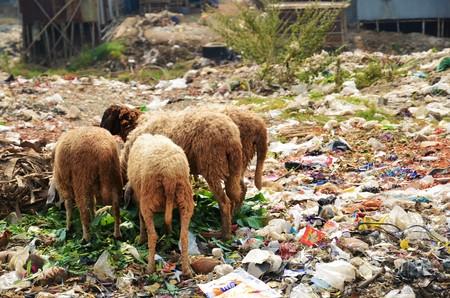 dhaka: Sheep are eating between piles of rubbish in Dhaka, Bangladesh
