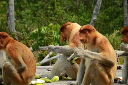 sandakan: Proboscis Monkeys are endemic to the mangrove forests of the Southeast Asian Iceland of Borneo. Proboscis Monkey Sanctuary in Sandakan Sabah Malaysia