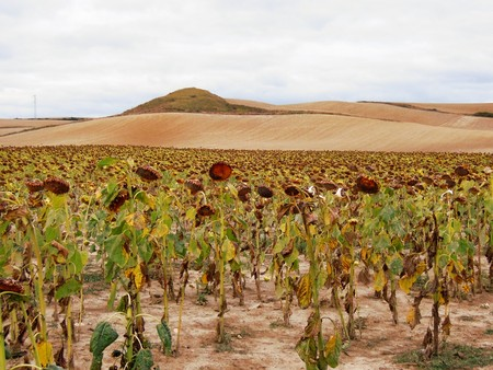 way of st  james: A field of sunflowers in the foreground and hills in the background in Spain on the St. James Way