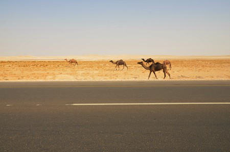 oman: Wild camels in the desert of Oman