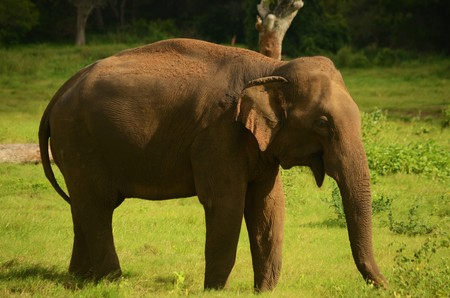 plan �loign�: A long shot of an elephant standing in the grass