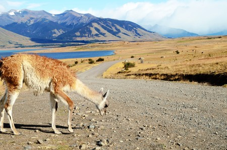 plan éloigné: Long shot of a guanaco, Patagonian Llama, at at estancia in Argentina close to El Calafate Banque d'images