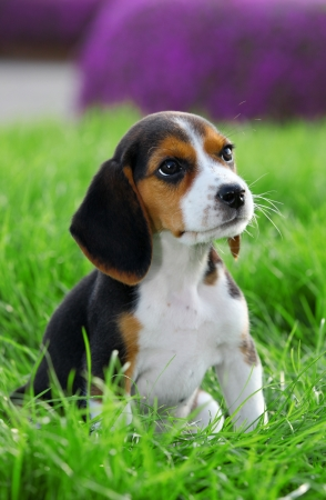 Pedigree beagle dog playing outide in the grass Stock Photo