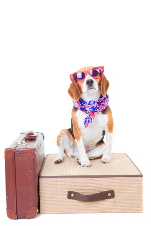 holiday pets: beagle dog with suit cases as concept for travel on summer holiday or vacation