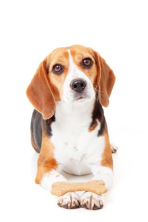 paciencia: perro obediente recibiendo formaci�n celebraci�n de galletas en las patas