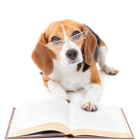clever: beagle dog wearing glasses reading book