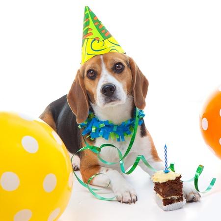 Huisdier beagle hond eerste verjaardagsfeestje vieren met taart hoed en ballonnen Stockfoto - 17991023