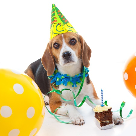 pet beagle dog  first birthday party  celebration with cake hat and balloons photo