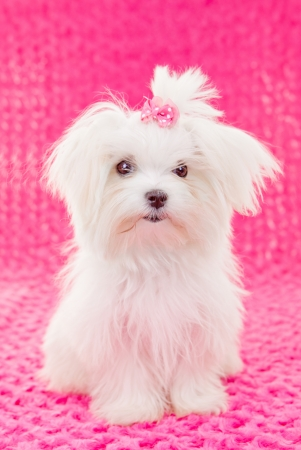 white maltese: cute maltese puppy dog with pink bow