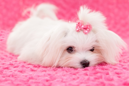 pedigree purebred cute maltese dog photo