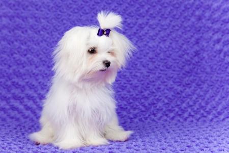 white maltese: little pet maltese dog sitting Stock Photo