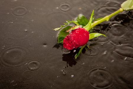 rose in puddle in road as concept for death and lost love