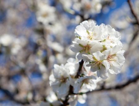 almond tree: almond blossom flowering on tree Stock Photo