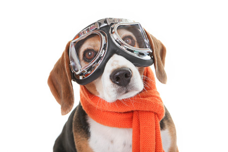 holiday travel  pet concept, dog in flying glasses Stok Fotoğraf