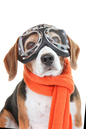 aviator:  Beagle dog wearing flying glasses or goggles