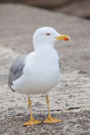 sidewards: lone seagull, front view, looking sidewards Stock Photo
