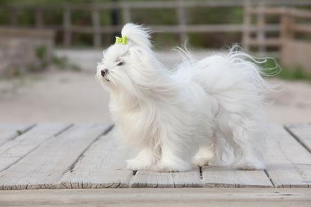 white maltese: pet maltese dog , dogs or pets. Stock Photo