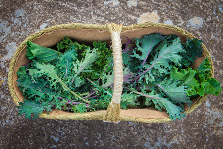 freshly picked: basket of freshly picked organic egological kale Stock Photo