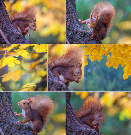 red squirrel: composite set of red squirrel in tree