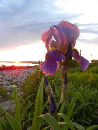 Iris at sunset photo