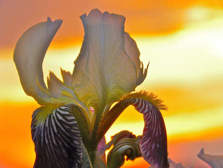 Iris with back lite sunset