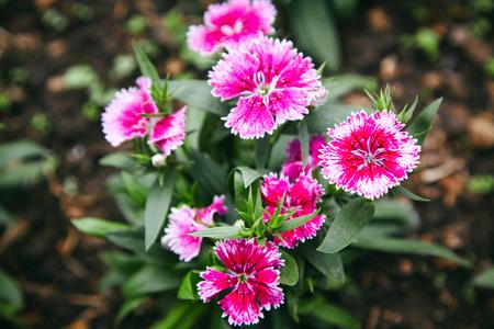 Dianthus flower aka Pinks