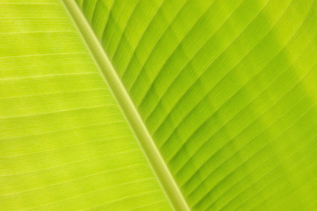 Abstract nature wallpaper, Close-up a part of green banana leaf vein and surface textured.
