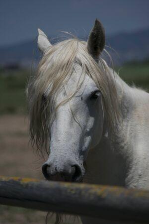 Mirada fija de caballo blanco
