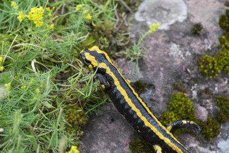 Black and yellow salamander released by the field Stock Photo