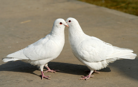 courtship: Courtship of pigeons Stock Photo