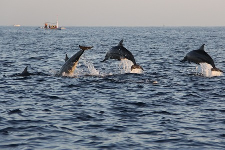 Dolphin watching at Lovina beach in Bali, Indonesia