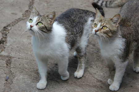 curiously: Two domestic cats staring curiously at something