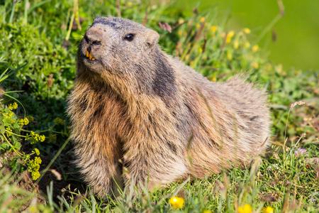 Close-up of a curious looking cute alpine marmot in the European Alps of Malbun, Liechtenstein