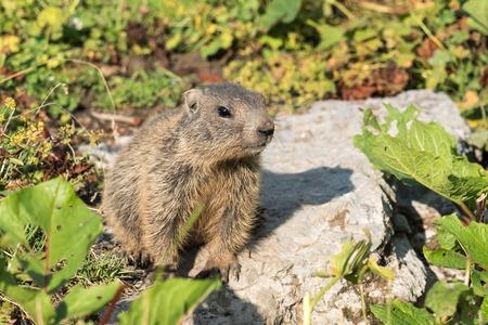 Curious young alpine marmot cub in the European Alps of Malbun, Liechtenstein