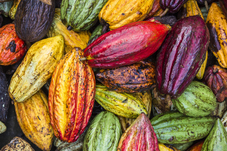 l agriculture: Cocoa Fruits