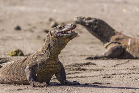 Komodo Dragons photo