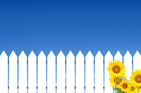 White fence with sunflowers in a sunny day.