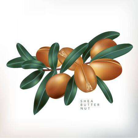 Vector Shea Butter Nuts with Leaves Illustration in White Background